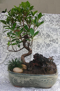 ficus bonsai for sale ahmedabad