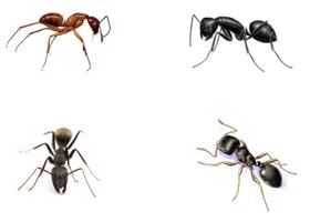 Variedad de hormigas