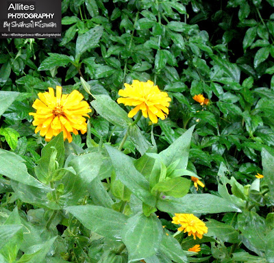 Beautiful Sun Flowers at Daman-e-Koh, Daman-e-Koh, Islamabad (Hill Resort), Photography by Shahzil Rizwan