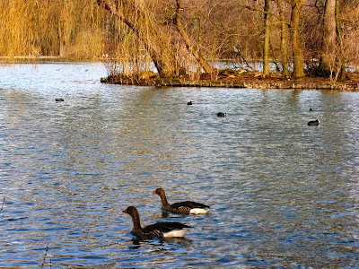 Two geese swimming in a lake