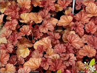 Heuchera 'Berry Smoothie' - Żurawka 'Berry Smoothie'