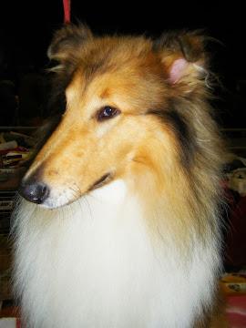 Mamíferos: cão com um ar afeminado (Laci)