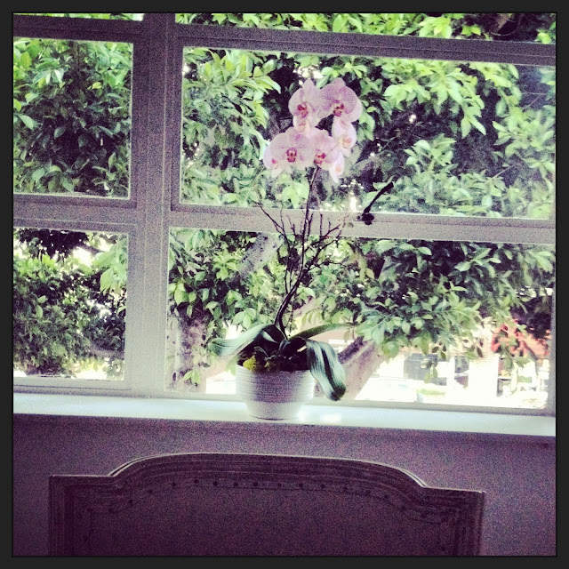 pink phalaenopsis orchid flower flowering plant window ficus tree Beverly Hills office COCOCOZY headquarters hq