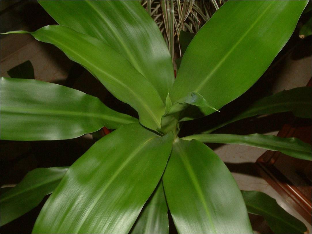 Dracaena fragrans (Grupo Deremensis) 'Janet Craig'