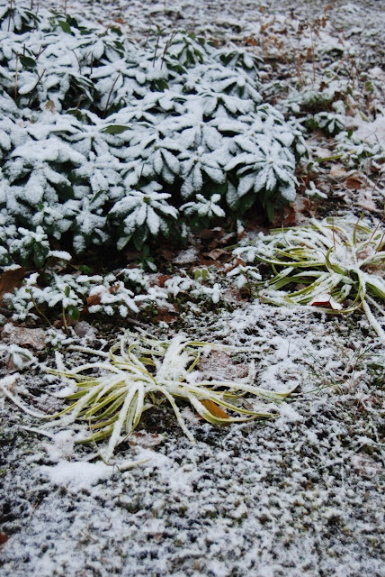 Snow on the wood spurge and Liriope in the Front Woodland.