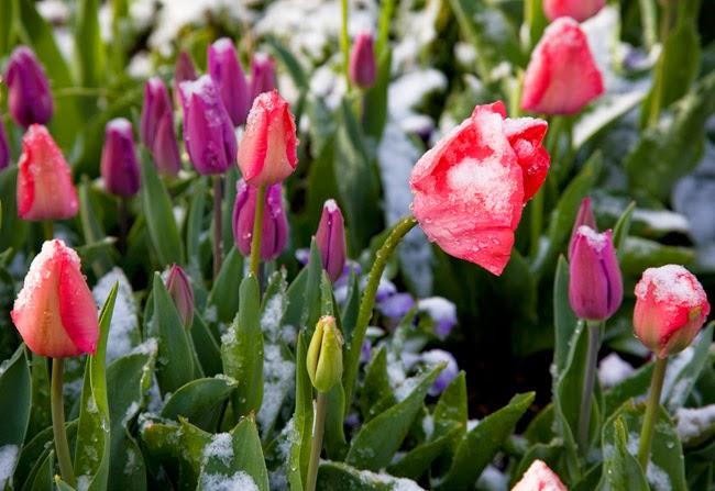 tải hình hoa tulip hồng