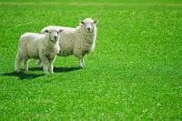 Phân tích thành phần có trong nhau thai cừu