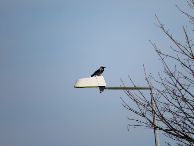 Hybrid Hooded x Carrion Crow