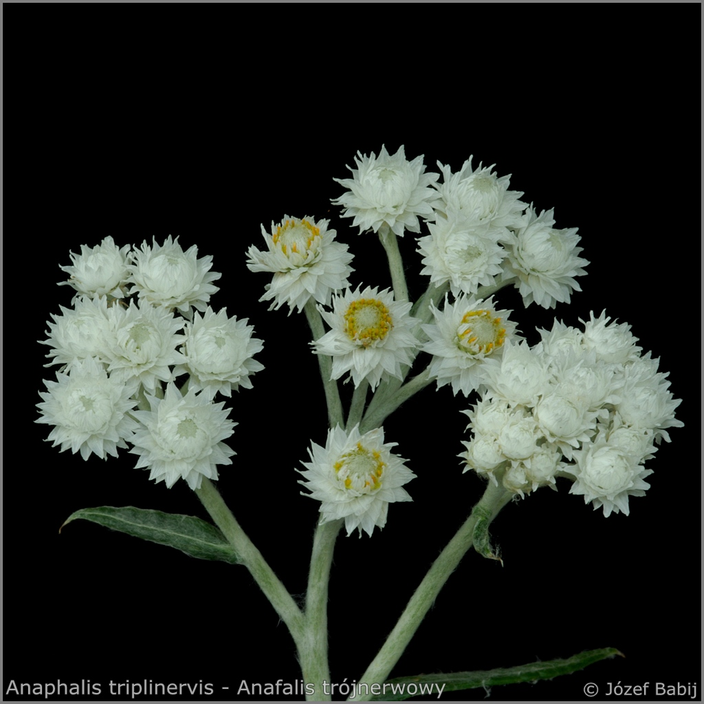 Anaphalis triplinervis inflorescence - Anafalis trójnerwowy   kwiatostan