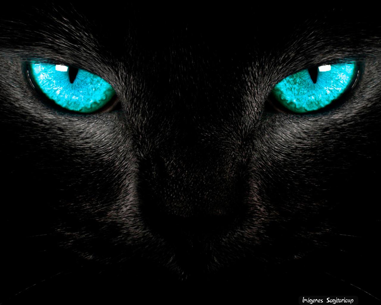 Gato De Ojos Azules Wallpaper Imágenes Para Compartir Sagitarioxp