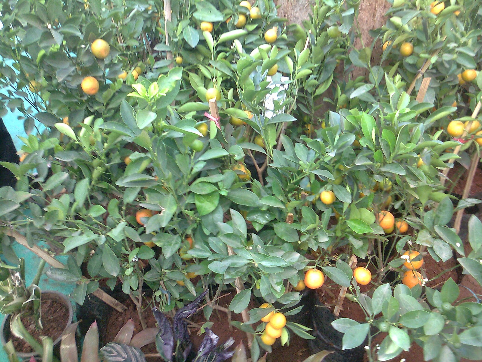 chinese orange fruit plant