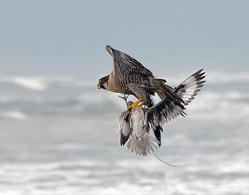 Falconry  Wikipedia