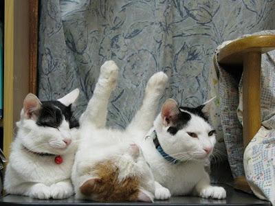 Foto Shironeko Kucing Termalas di Dunia 03