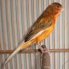 om hoby bagaimana cara membuat burung kenari cepat gacor