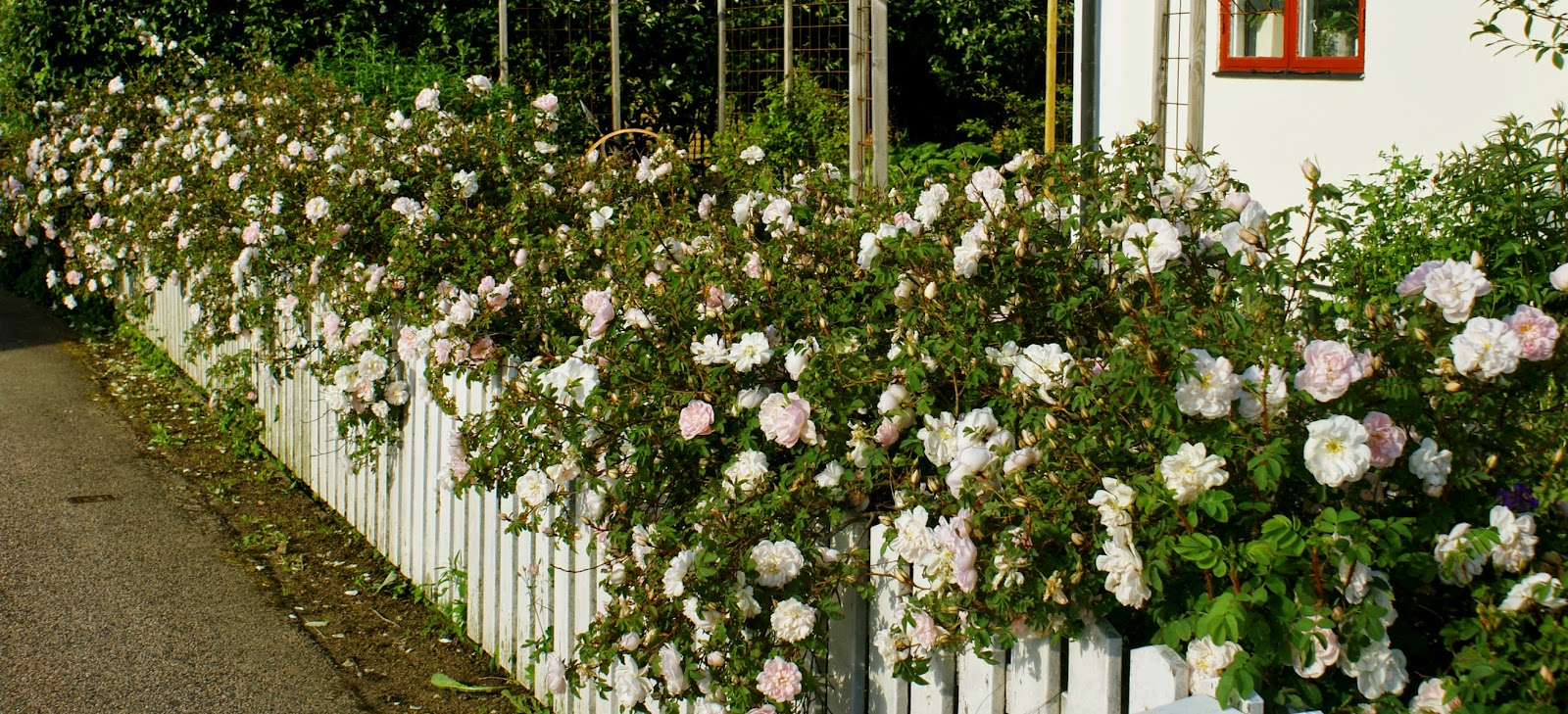 Millas trädgård: blommig fredag   rosa...