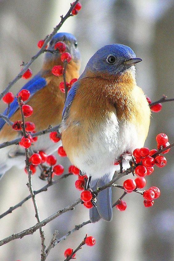 I love bluebirds!