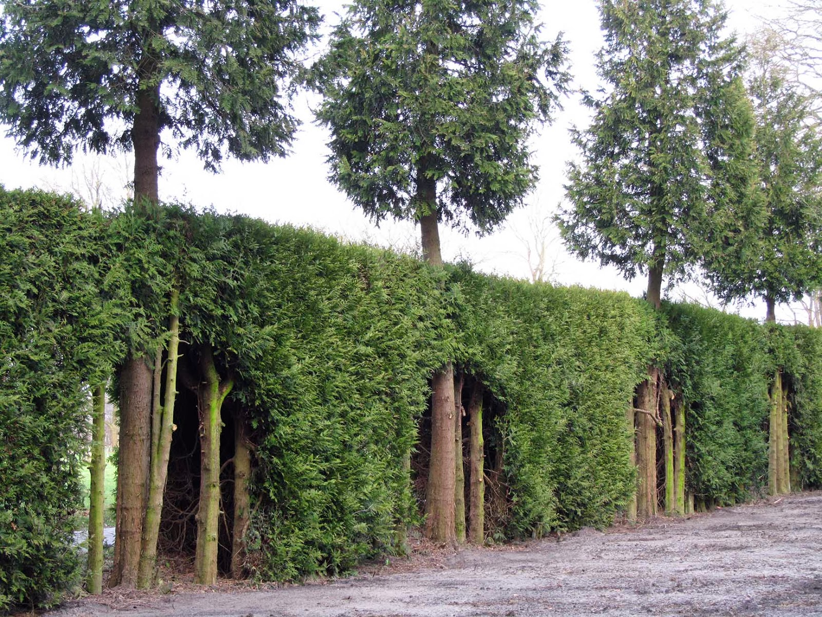 row of conifers