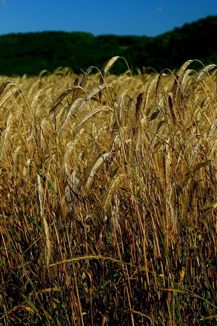 Hohenfels Volks:Amber Waves of Grain