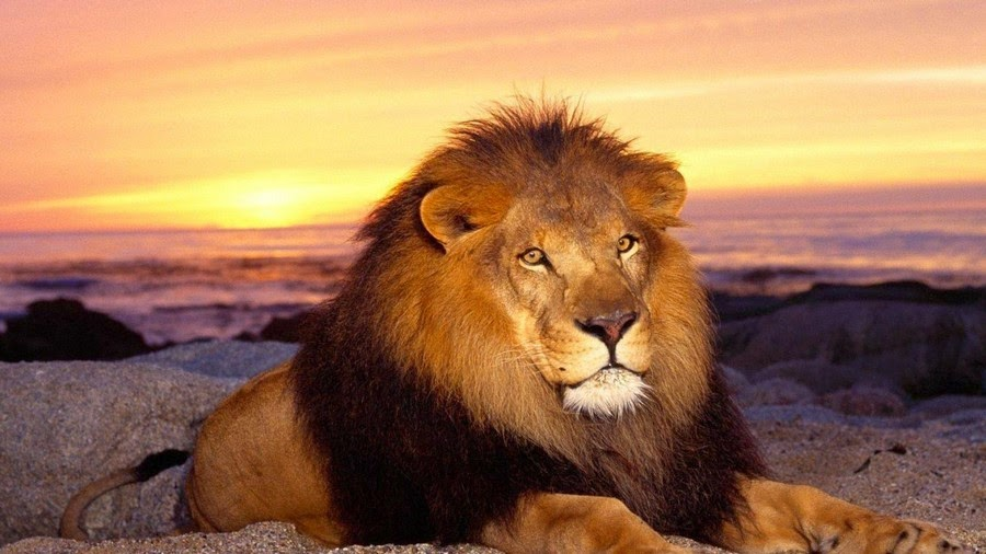 2 - اجمل صور للأسد -  Photos of the Lion