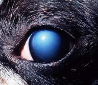 corneal dystrophy in dogs