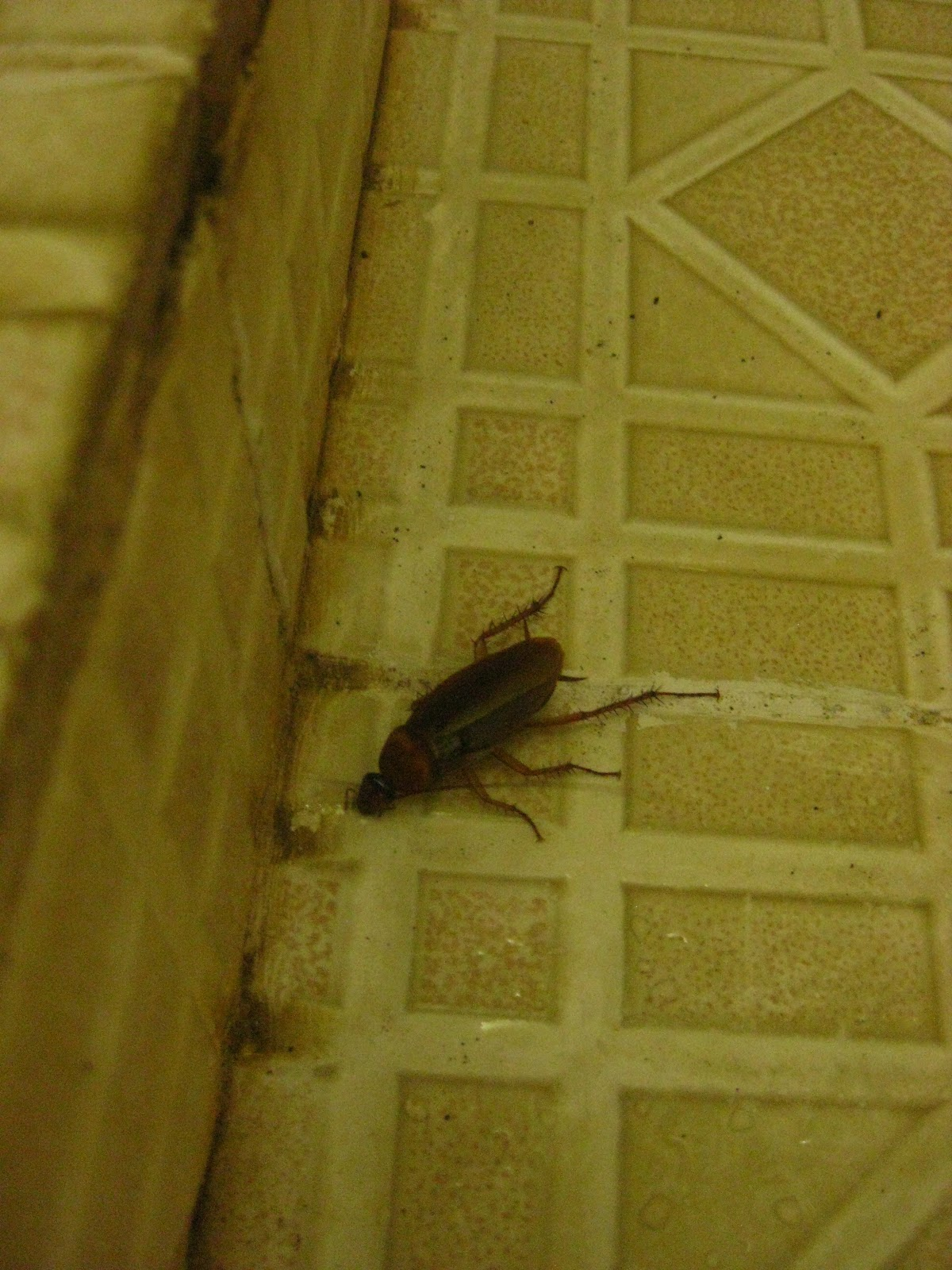 Baby Cockroach Vs Bed Bug : Displaying 19> Images For Baby Cockroach Vs Bed Bug