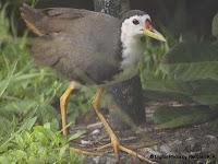 waterhen bird