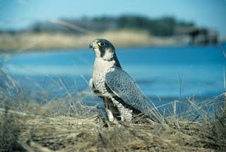 Peregrine Falcons begin nesting season in Ohio