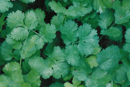 Foto del culantro o cilantro