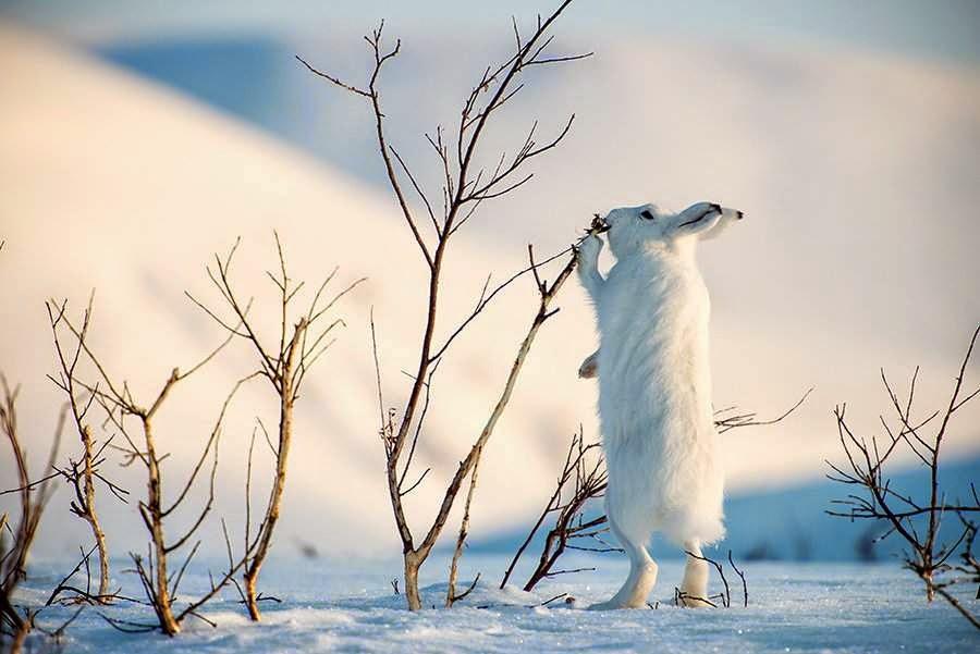 Arctic Hare image