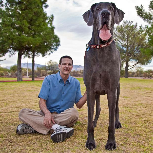 World's Biggest Great Dane George