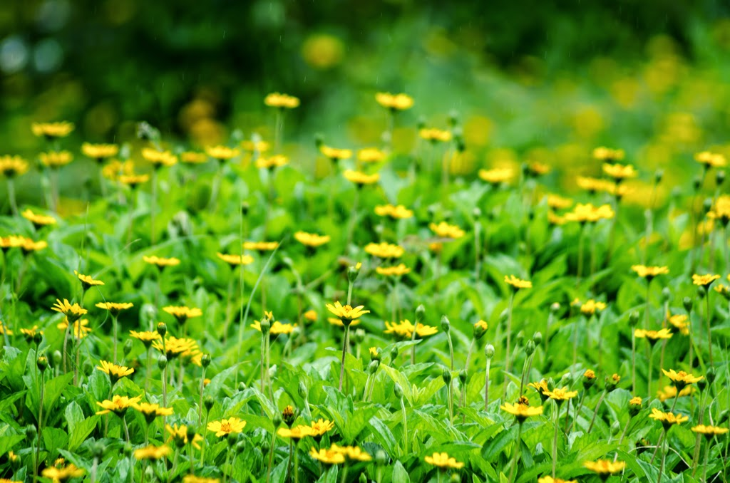 Yellow-flowers-inside-shaniwarwada-pune