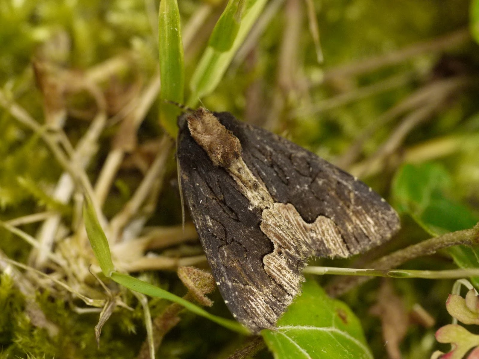 Hereford and Worcester Moths: Bird\'s Wing