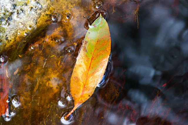 leaf in tannin stained water