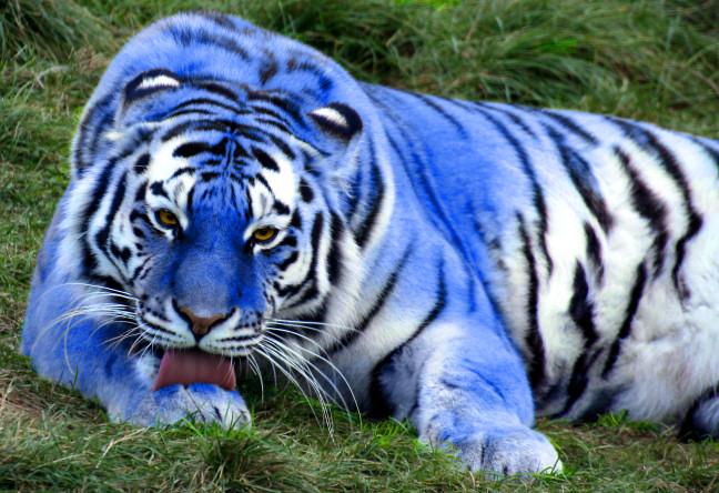 Maltese Blue Tiger Related Keywords & Suggestions - Maltese Blue Tiger ...