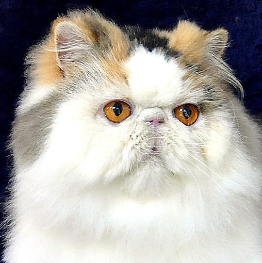Perawatan Kucing Menghilangkan Stain Noda Kekuningan Pada