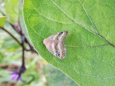ベッコウハゴロモの成虫