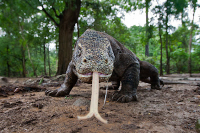 Dragn de Komodo - Mi nueva mascota - Reptiles
