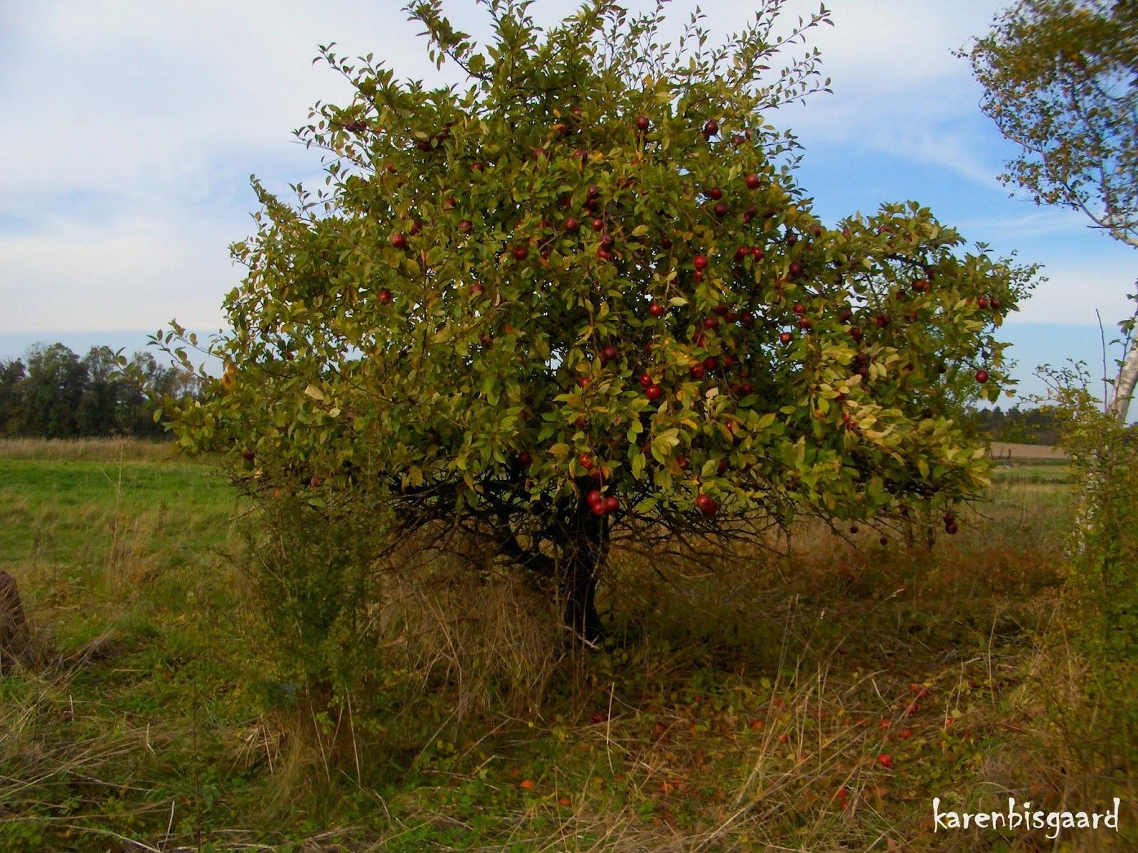 how to grow an apple tree in texas