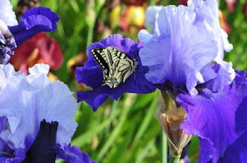 plus de 2000 variétés d'iris qui poussent sur les plus mauvais terrains