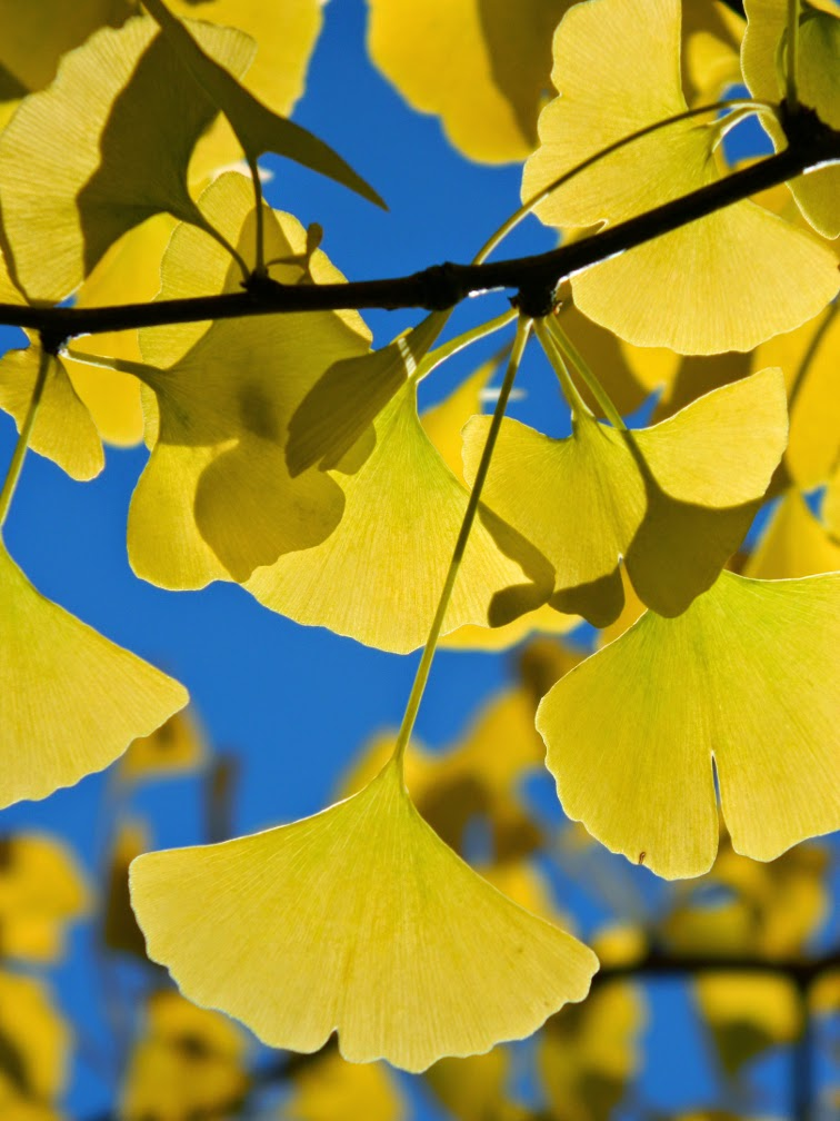 Ginkgo biloba Maidenhair tree autumn foliage Mount Pleasant Cemetery by garden muses-not another Toronto gardening blog