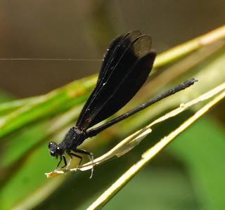 Euphaea masoni