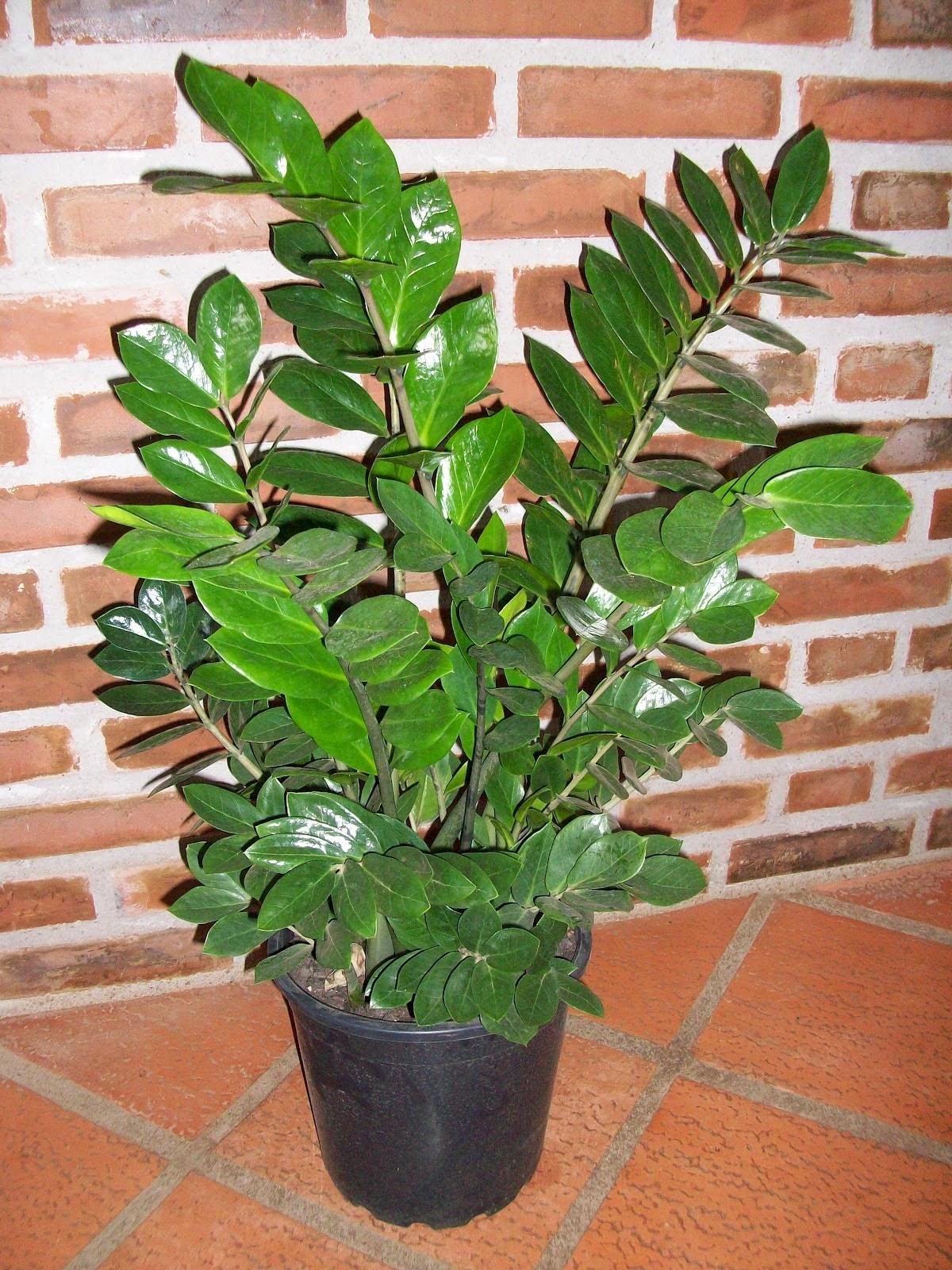 Zamioculca  Zamioculcas zamiifolia  Verde em Folha