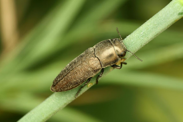 Sphenoptera laportei