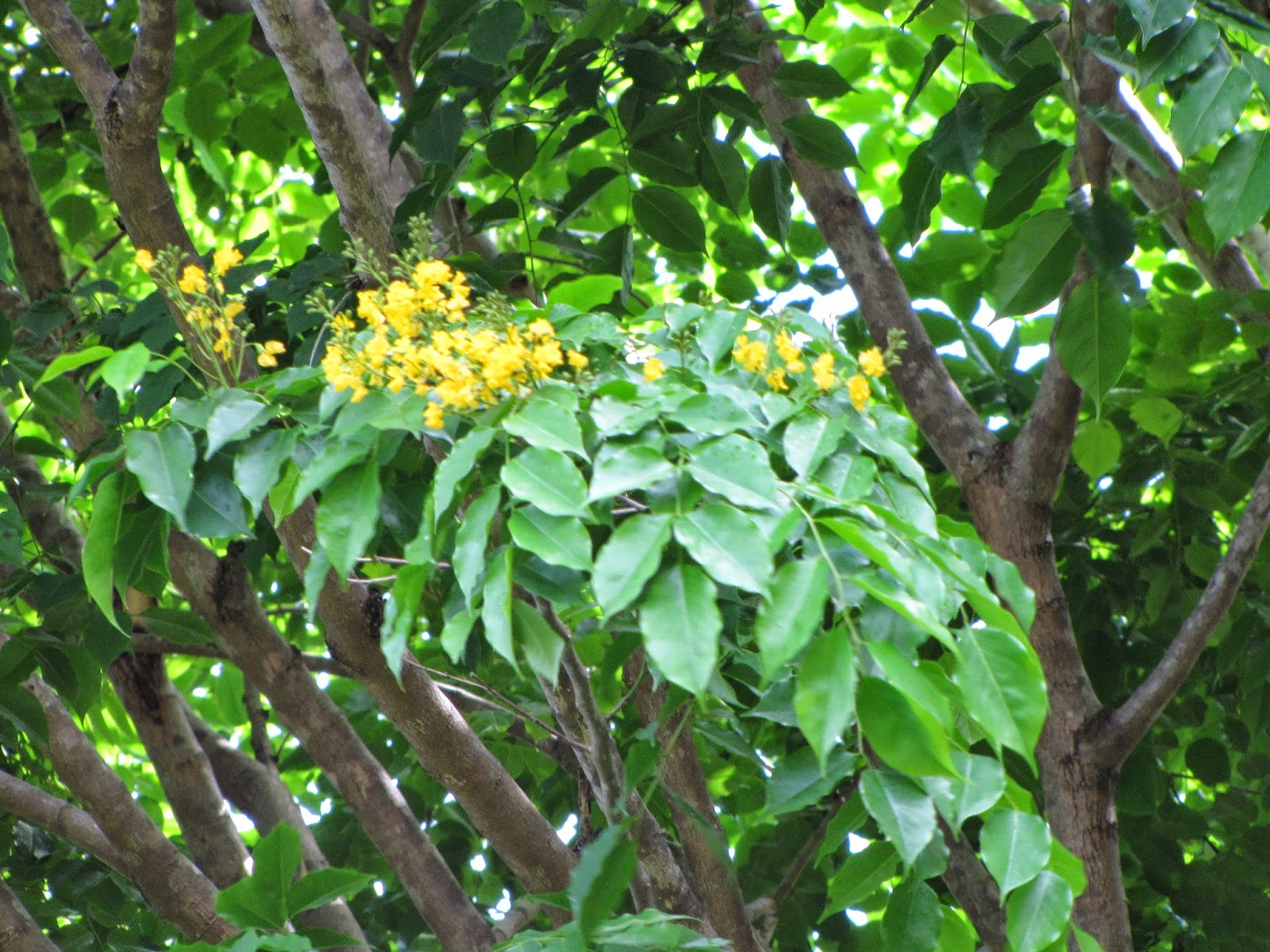 the narra tree Read about the national symbols of the philippines, which are as varied and colorful as the races that gave rise to its existence  the narra tree,.
