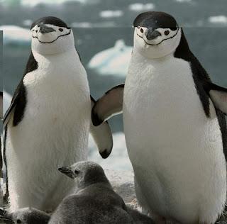 gambar penguins chinstrap yang homo-Binatang-Binatang dan hewan Yang Homo di dunia - munsypedia | un1x project