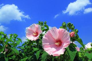 hatmi çiçeği netten yazar