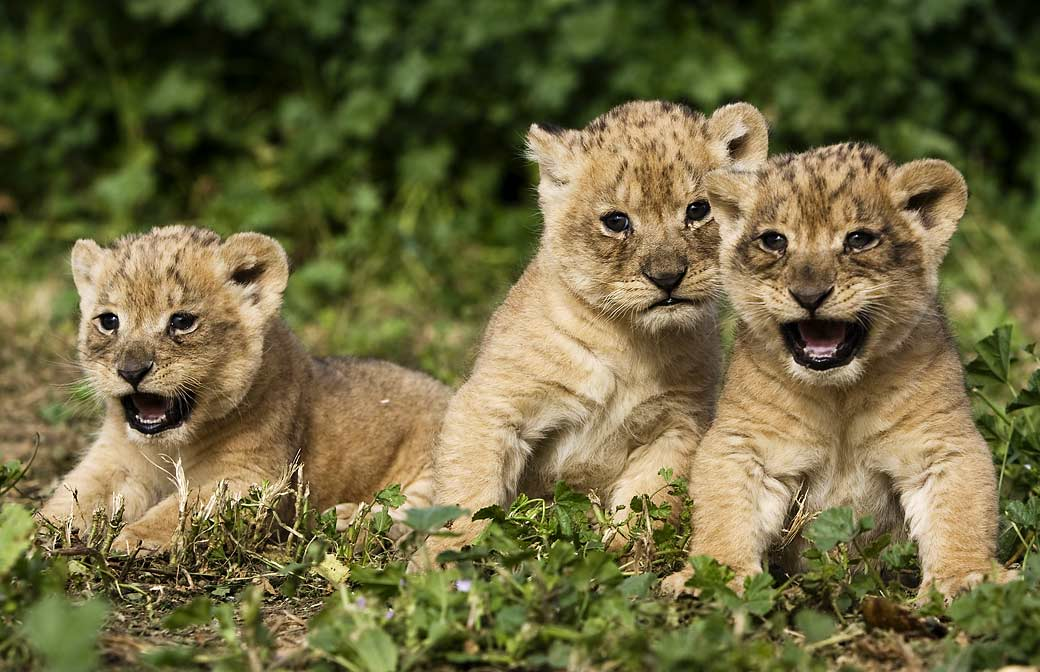 Funny baby lion pictures Funny Animal