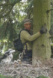 Black Stork ringing