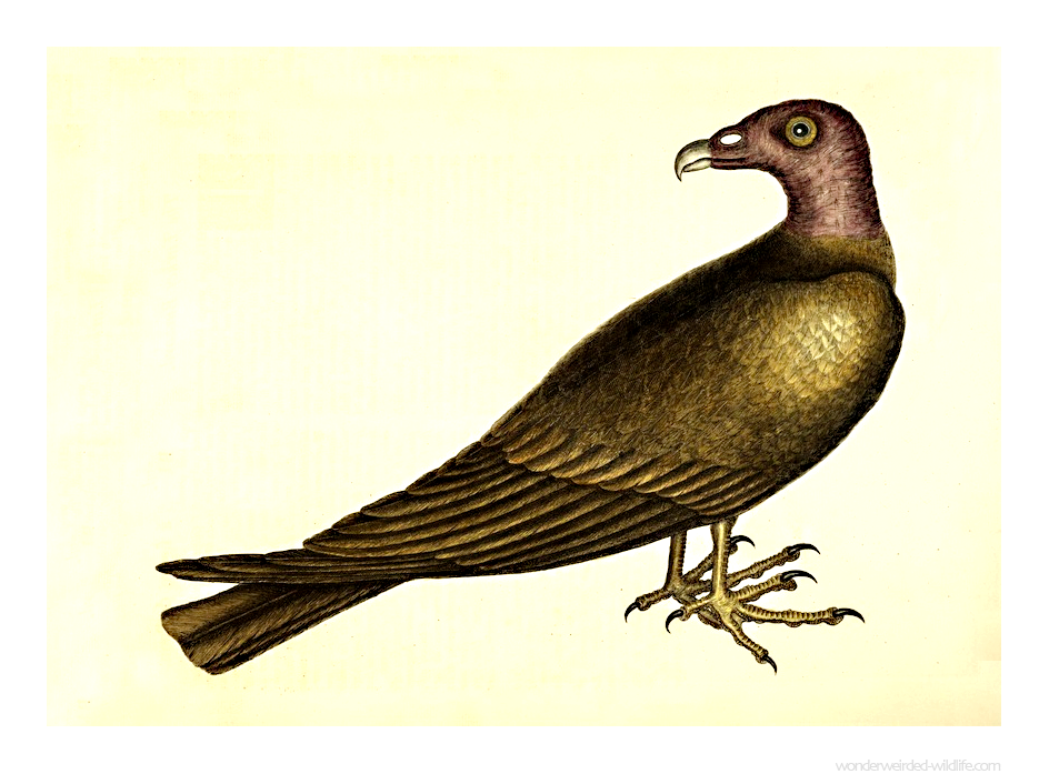Turkey Buzzard Picture  ::: Wonderweirded Vintage Animal Illustrations
