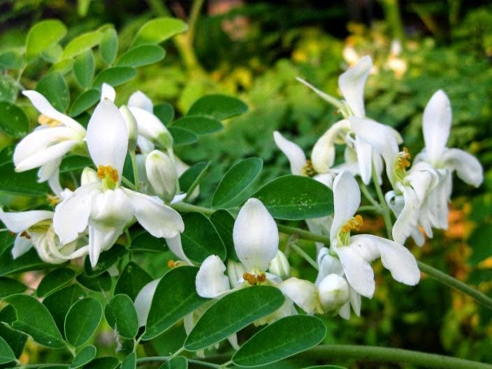 Cách trồng cây chùm ngây moriga